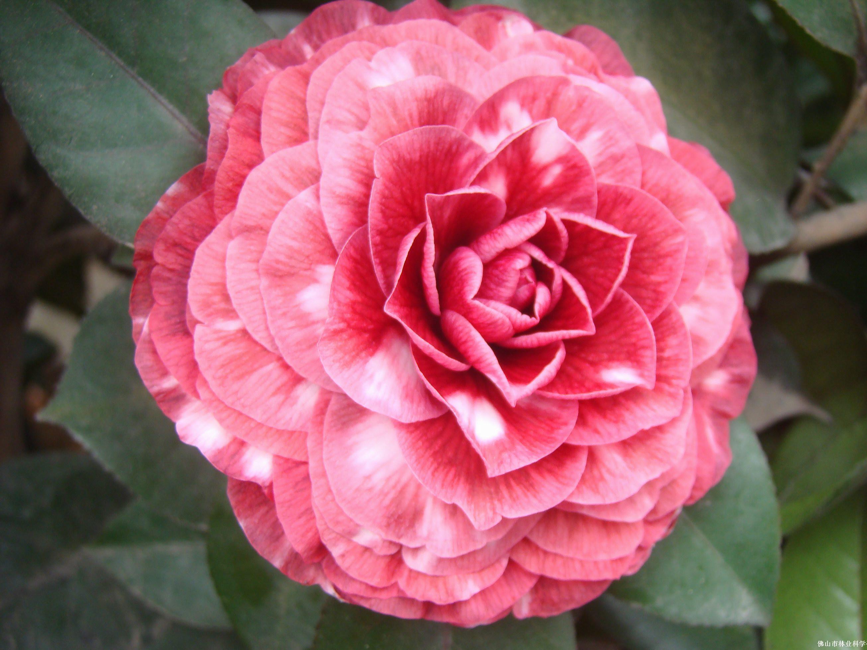 红叶贝拉--茶花展示图片